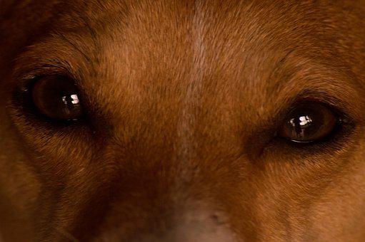 Dog, Eyes, Animal, Pet, Puppy, Cute, Portrait, Brown