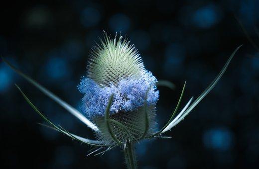 Thistle, Moonlight, Dark, Prickly, Wild Flower, Spur