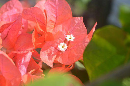 Flowers, View, Red Flower