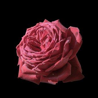 Rosa, Red, Flower, Plant, Romantic, Nature, Petals