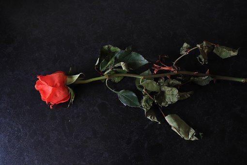 Red Rose, Floral, Romantic, Flower, Romance, Color