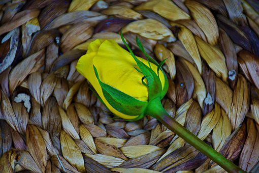 Rose, Yellow, Bloom, Flower, Petals, Romantic