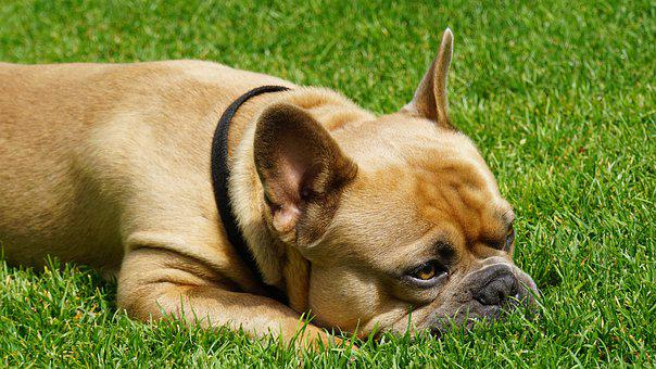 French Bulldog, Dog, Cute, Sweet, Relaxed, Rush, Meadow