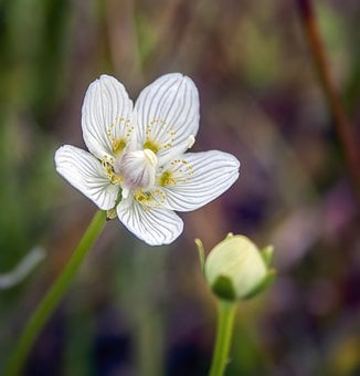 Grass-of-parnassus, Wildflower, Aroma, Scented, Honey