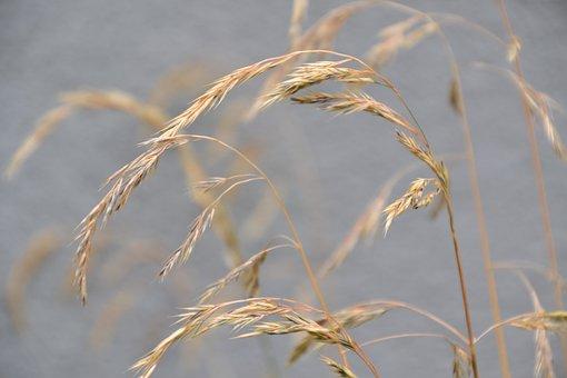 Grass, Wild Seeds, Spike, Seeds, Grass Ear