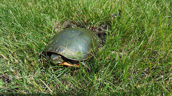 Turtle, Tortoise, Shell, Carapace, Wild, Painted
