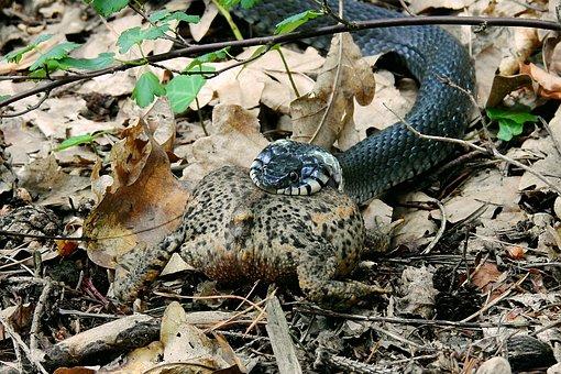 Snake, Hunting, Attack, Grass Snake, Gad