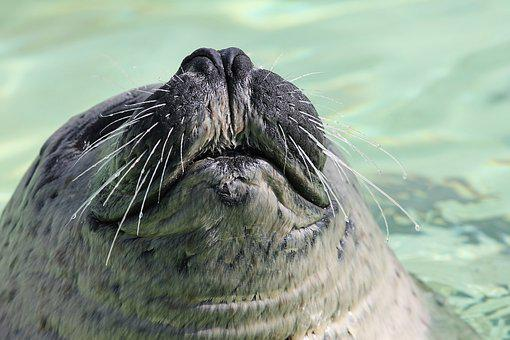Seal, Robbe, Snout, Foot, Moustache, Whiskers, Nose