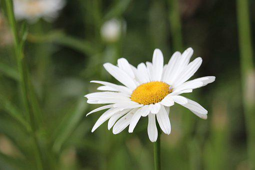 Flower, Daisy, White, Spring, Bloom, Nature, Daisies