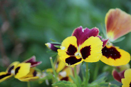 Pansy, Yellow, Flowers, Spring, Bloom, Nature, Pansies