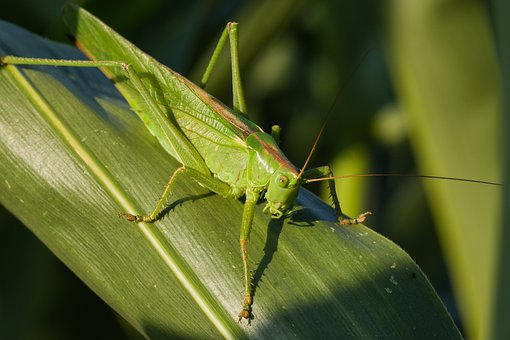 Viridissima, Summer, Corn Leaf, Grasshopper, Nature