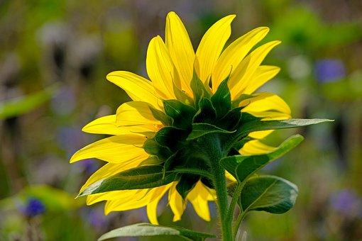 Sunflower, Blossom, Bloom, Yellow, Nature, Bloom