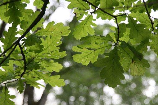Oak, Leaf, Green, Tree, Nature, Leaves, Oak Leaves
