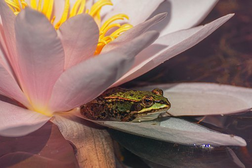 Water Lily, Frog, Water, Nature, Pond Inhabitants