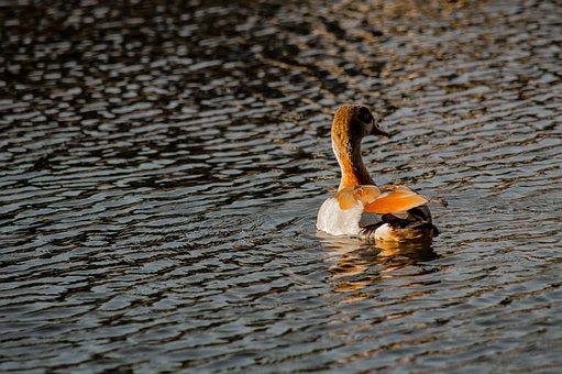 Duck, Pond, Lake, Mama, Nature, Water, Mirroring, Bird