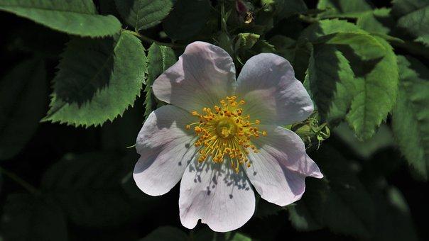One, Pink, Flowering, Wild Rose, Garden, Petals, Roses