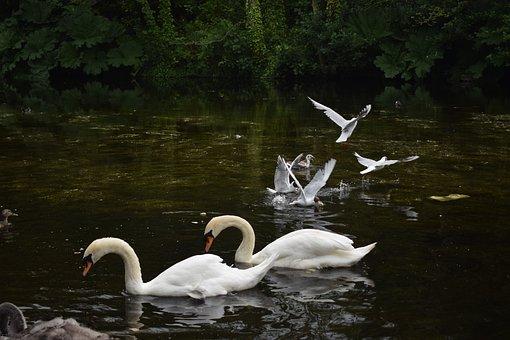 Swans, Birds, Pond, Water, Nature, Feather, Wildlife
