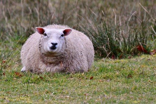 Sheep, Mammal, Wool, Spring, Nature