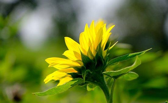 Sunflower, Yellow, Summer, Nature, Blossom, Bloom