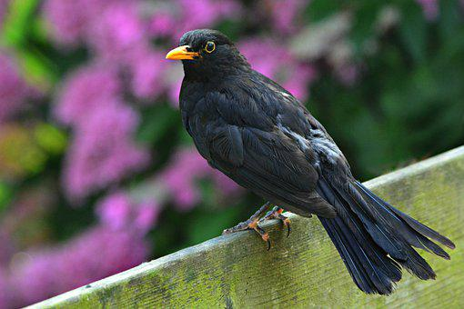 Blackbird, Bird, Animal, Beak, Yellow Rimmed Eye