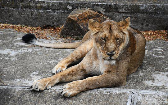 Lioness, Animal, Cat, Feline, Nature, Large, Wild, Zoo