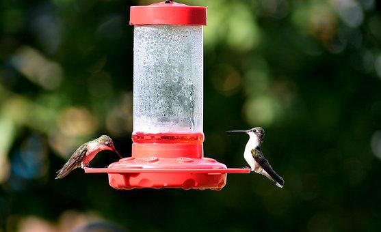 Hummingbird, Bird, Avian, Tiny, Nature, Wildlife