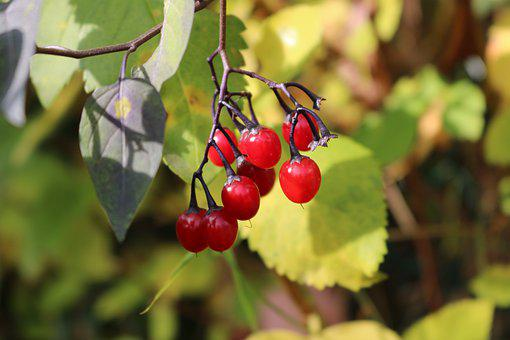 Fruits, Red, Autumn, Berries