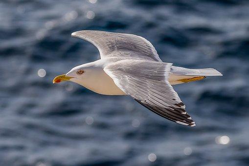 Seagull, Herring Gull, Bird, Seevogel, Water Bird, Sea