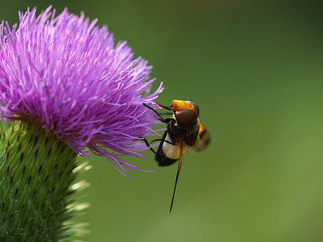 Hoverfly, Insect, Nature, Blossom, Bloom