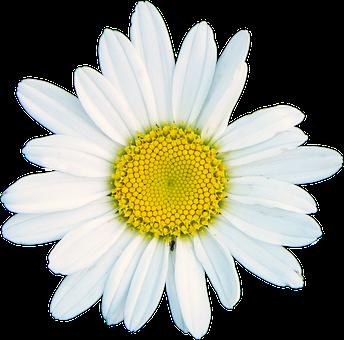 Shasta Daisy, White, Flower, Blossom, Garden, Bloom