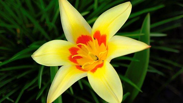 Flower, Tulip, Yellow, Golden, Nature, Bloom, Garden