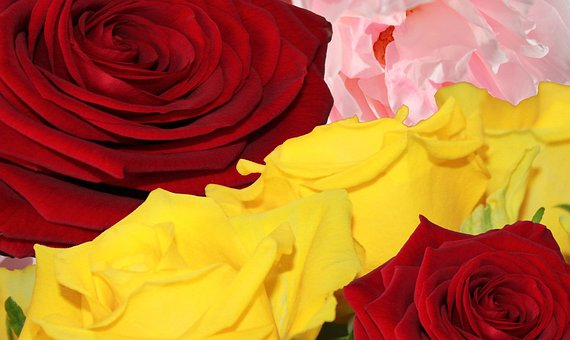 Roses, Flower, Nature, Bloom, Blossom, Love, Romantic
