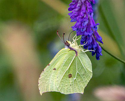 Butterfly, Brimstone, Feeding, Nectaring, Flower, Wings