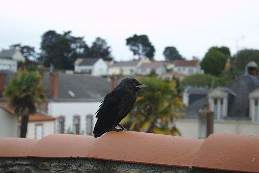 Blackbird, Tiles, Roofs, City, Bird, Brittany, Houses