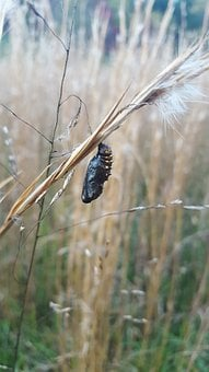 Pasture, Cocoon, Pupae, Butterfly, Fall, Insect