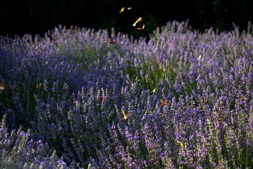 Butterfly, Lavender, Coloring, Insect, Nature, Flower