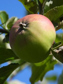 Apple, Jabłonka, Fruit, Garden, Nature, Closeup, Plant