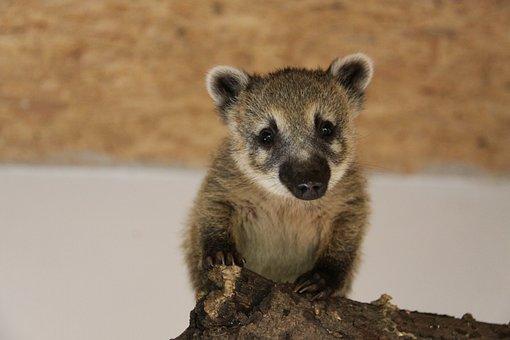 Coati, Small Bear, Proboscis Bear, Coatis, Nasua