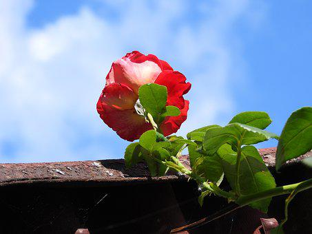 Rose, Curly, Flower, The Roof Of The, Sky, Figure