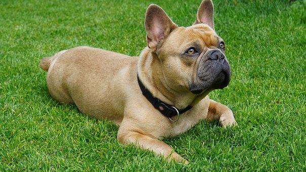 French Bulldog, Dog, Animal, Cute, Sweet, View, Love