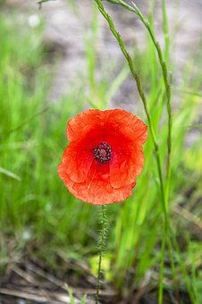 Poppy, Red Poppy, Flower, Daisy, Floral, Blooming