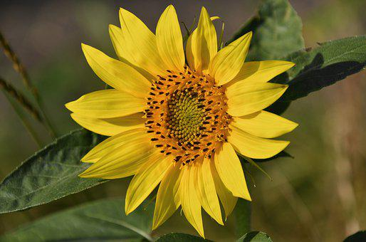 In The Morning, Sunflower, Yellow, Flower, Day S