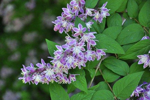Deutzia, Flowering Shrub, Shrub, Flowers, Garden