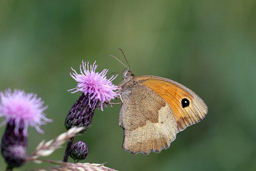 Butterfly, Flower, The Delicacy, Macro, Flora, Grass