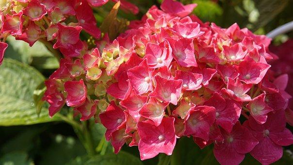 Background, Pattern, Hydrangea, Flowers, Flower, Plant