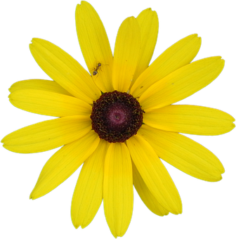 Yellow Flower, Rudbeckia, Flower, Black-eyed, Yellow