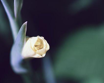 Gladiolus, Flower, Yellow, Blooming