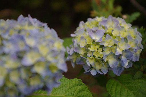 Hydrangea, Flower, Bloom, Blossom, Nature, Plant