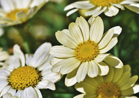 Margarite, Flower, Blossom, Bloom, Bloom, Blossomed