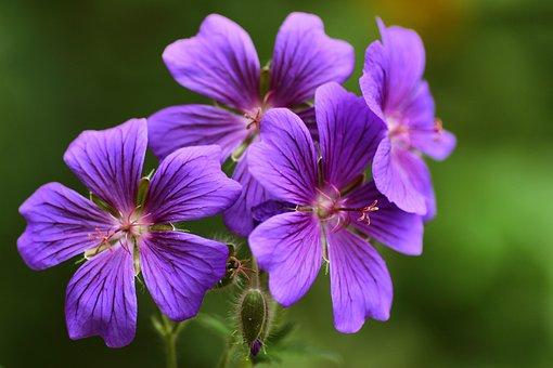 Cranesbill, Flowers, Nature, Flower, Close Up, Flora